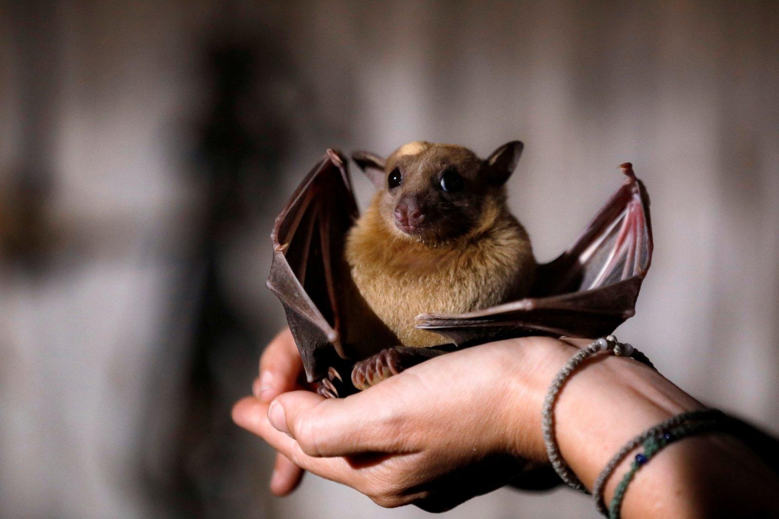 Šikšnosparniai: savybės, taksonomija, morfologija, elgesys