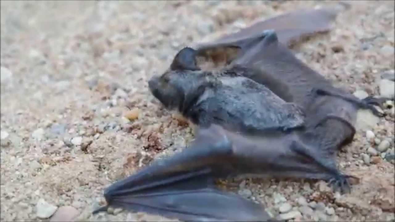 geresnės alternatyvios prekybos sistemos šikšnosparniai)