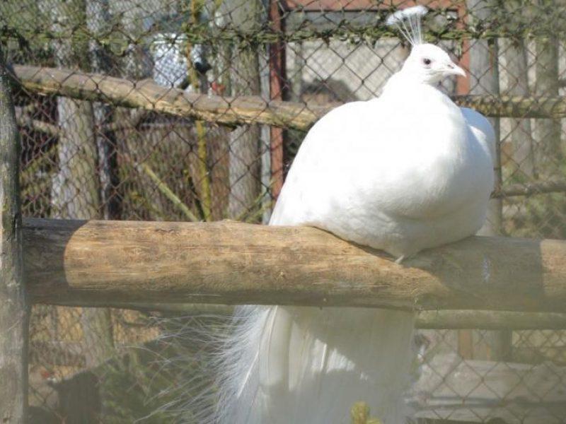 ankstyvosios paukščių prekybos sistema