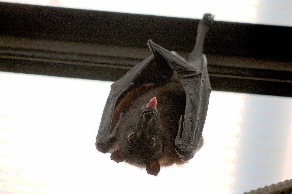 šikšnosparnių alternatyvi prekybos sistema)
