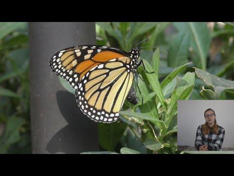 meškinių drugelių pasirinkimo strategija